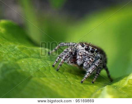 Jumping Spider Approaching