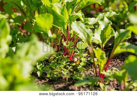 Young Beetroots Growing In Ecologic Garden