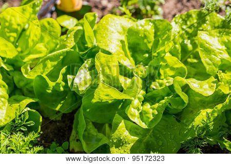 Young Lettuce Growing In Garden