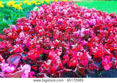 Lot of red flowers on a flowerbed