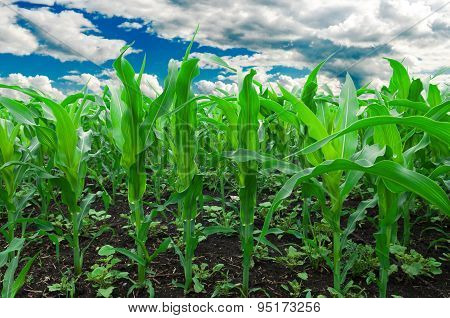 Corn field.