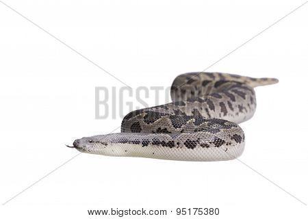 Eryx conicus