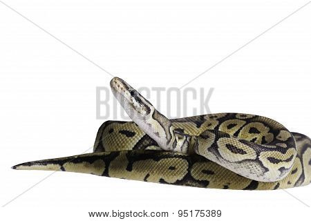 Python regius isolated on white background.