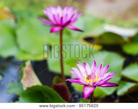 Indigo Purple Lotus In The Pond. Background Blur