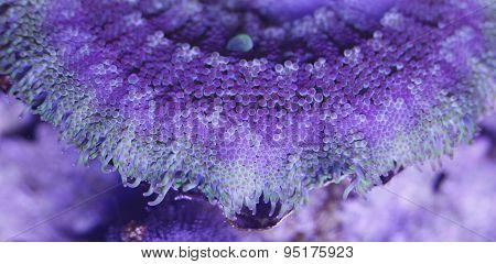 Sea Anemone Texture