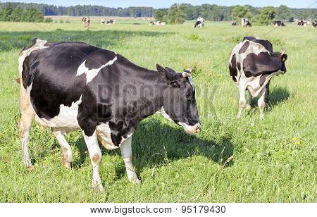 Grazing Cows On A Green Summer Field.