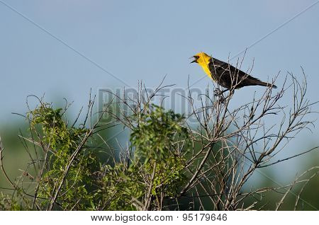 Yellow-headed Blackbird Calling While Perched On A Bush