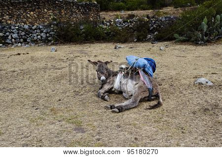 Ladened Donkey Laying Down Peru South America