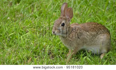 Wild Hare or Rabbit in Green Grass. Gentle Light.