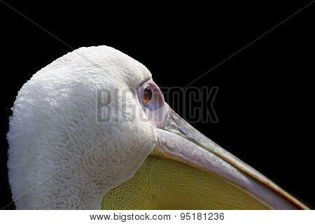 Great Pelican.  Pelecanus Onocrotalus  Close Up, Beautiful Portrait