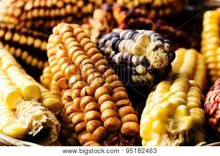Several Ears Of Corn (maize) Of Different Varieties