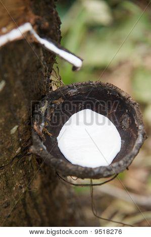 Harvesting Natural Rubber Latex