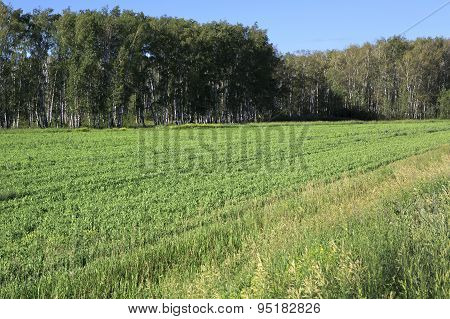 Green field planted with peas.