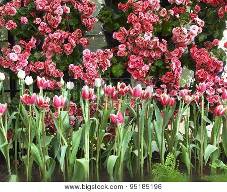 Tulip Flower Beautiful Pink Background