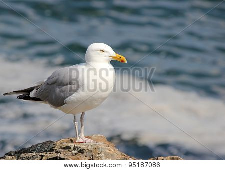 Herring Gull on a Rock
