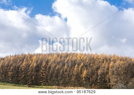 Yellow larch forest