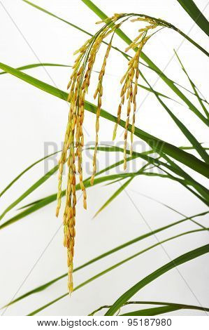 Paddy Rice  On White