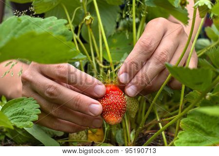 Gathering Of  Strawberries