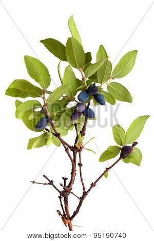Branch Of Honeysuckle With Blue Berries On White