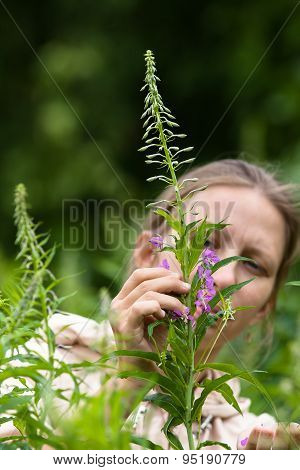 Woman Gathering Leaves And Flowers Of Willow-herb (ivan-tea)
