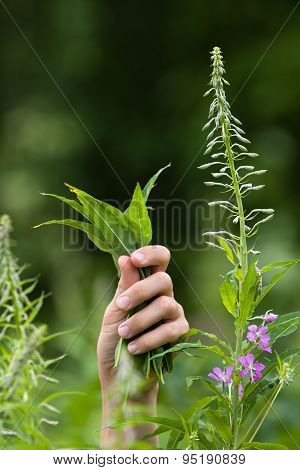 Hands With Leaves Of Willow-herb (ivan-tea) During Gathering