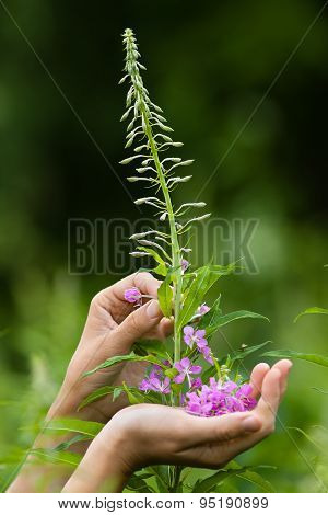 Hands Gathering Flowers Of Willow-herb (ivan-tea)