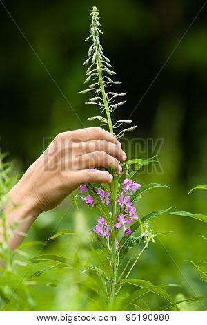 Hand Gathering Flowers Of Willow-herb (ivan-tea)