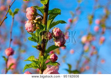 Branch With Little Pink Flowers