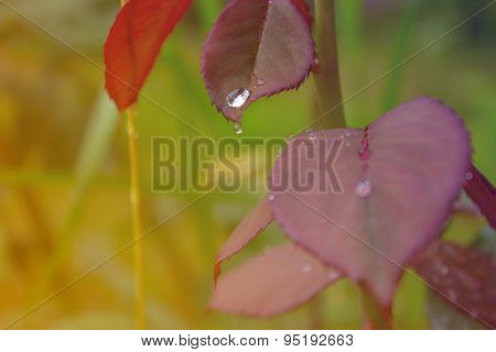 Rose Leaves With Water Drops