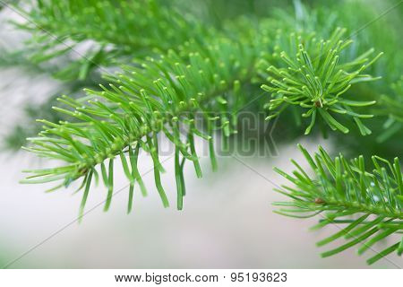 Natural Spruce Branch.