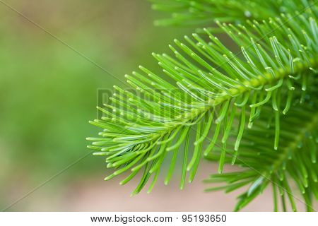 Green Spruce Branch. Summer Time