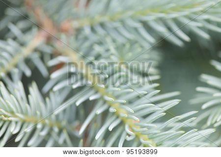 Evergreen Spruce Branch