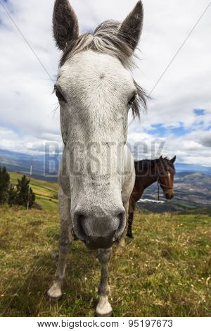 Horses Grazing On The Heights Of The Mountains Of Ecuador