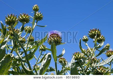 Artichoke Crop On Organic Farm