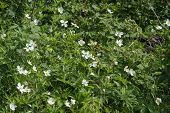 picture of strawberry plant  - Wild Strawberry plant blossoming beside an old country road. ** Note: Soft Focus at 100%, best at smaller sizes - JPG