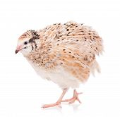 foto of quail  - Cute adult quail isolated over white background cutout - JPG