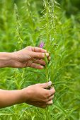 stock photo of willow  - women hands gathering flowers of willow - JPG