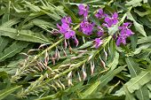 pic of willow  - leaves and flowers willow - JPG