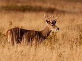Whitetail Buck in Grass