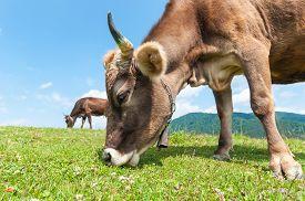 image of calf cow  - Herd of cows at summer green field - JPG