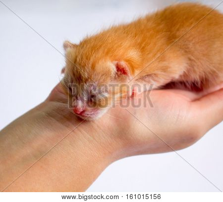 Newborn kitten in girl's hand on white background. New born baby cat. Red kitty in caring hands. Cute cat close photo. Lovely kitty sleeping in hand. Sweet baby cat closeup. Blind kitten idyllic image