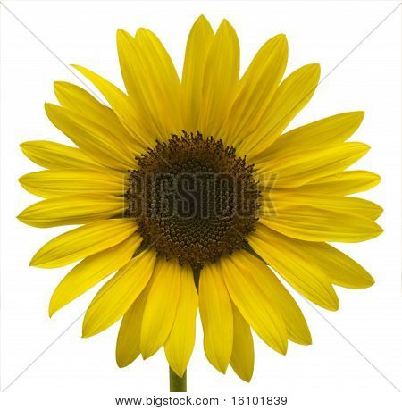 One Sunflower