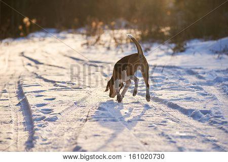 Hansome dog walk away in winter evening.