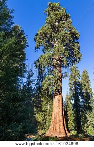 Giant Sequoia Tree