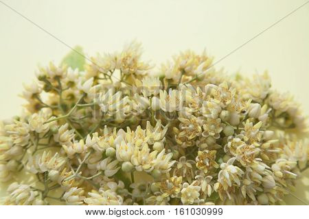 nice yellow summer background with heap of fresh picked linden flowers