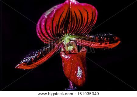 Paphiopedilum often called the Venus slipper is a genus of the Lady slipper orchid subfamily Cypripedioideae of the flowering plant family Orchidaceae