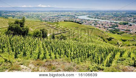 grand cru vineyard, Tain-Hermitage, Rh?ne-Alpes, France