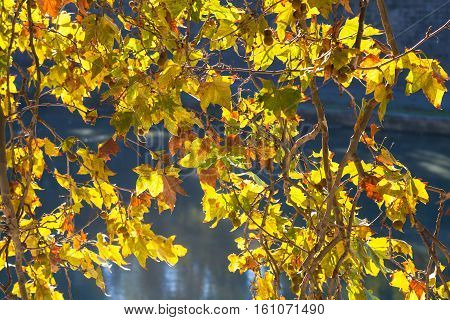 Yellow Leaves Sycamore Illuminated By Autumn Sun