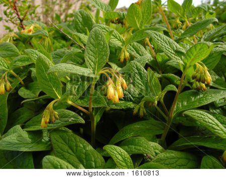 Comfrey Plant