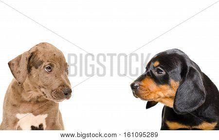 Portrait of a puppies pit bull and Slovakian hound, closeup, isolated on white background